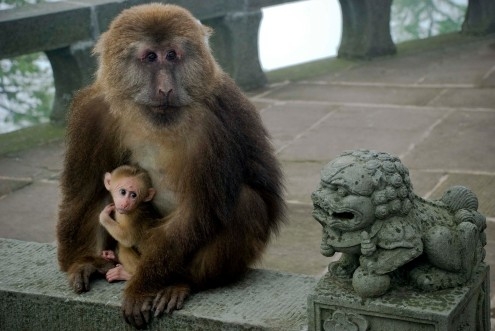 emei-macaques